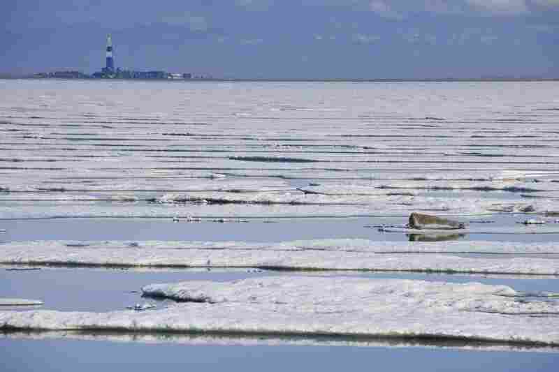 A Bearded Seal rests on sea ice with a oil drilling rig in the background. Beaufort Sea, Alaska.