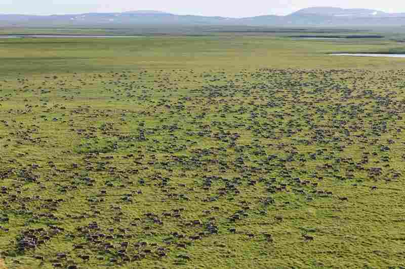 Members of the Western Arctic Caribou Herd, currently about 350,000 animals strong, migrate across areas that have been mapped out for large-scale mining development. The herd has one of the longest migration routes of any land mammal in North America.