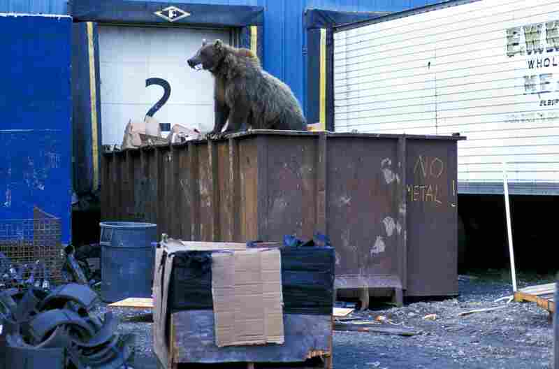 A grizzly bear tries to find food in a garbage container at the Prudhoe Bay oil field.