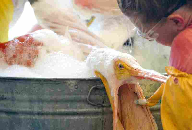 A volunteer uses a toothbrush to clean an oil-covered white pelican at the Fort Jackson Oiled Wildlife Rehabilitation Center in Buras, La., June 9.