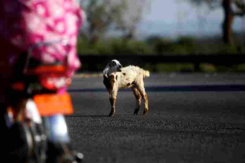 A young goat stands stranded in the center of the road outside Rawalpindi, Pakistan. An 18-wheeler skidded to avoid him, before a shop owner chased him off the road.