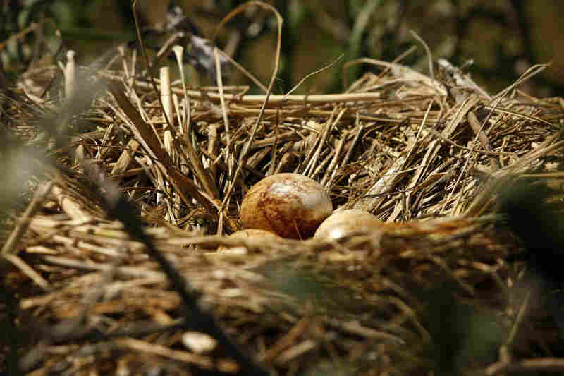 Pelican eggs stained with oil sit in a nest on an island in Barataria Bay on May 22.