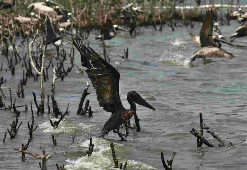 An oil-soaked pelican takes flight after Louisiana Fish and Wildlife employees tried to corral it on an island in Barataria Bay on the coast of Louisiana. The island, which is home to hundreds of brown pelican nests as well at terns, gulls and roseate spoonbills, is impacted by oil from the Deepwater Horizon spill.