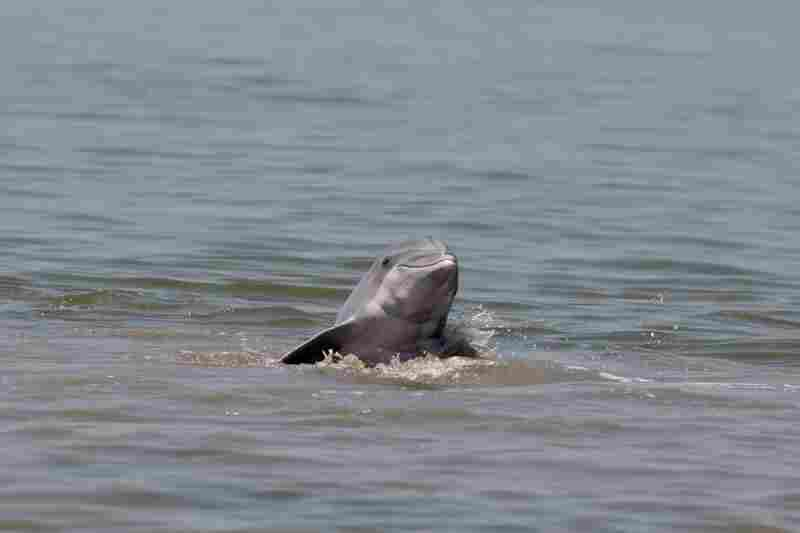 A dolphin rises up out of the water near Grand Terre Island off the coast of Louisiana on June 14.