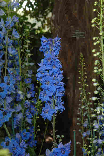 Blue delphiniums on display in the Enid A. Haupt Conservatory at the New York Botanical Garden as part of Emily Dickinson's Garden: The Poetry of Flowers.