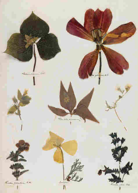 When Dickinson was 14 years old, she created a herbarium, pressing flowers and plants onto many pages of a book. A digital facsimile of the herbarium is on view at Emily Dickinson's Garden: The Poetry of Flowers.