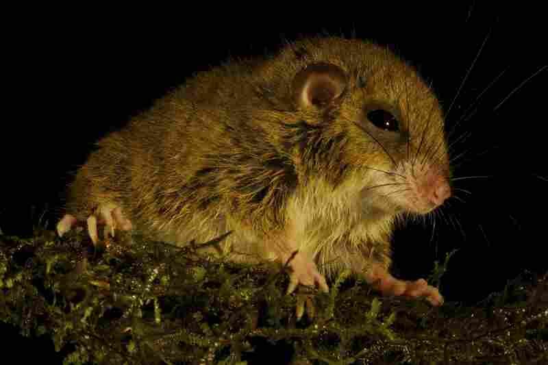 This tree mouse, very possibly a new species, was also discovered by Helgen.
