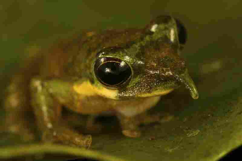 The long-nosed tree frog is a new species of frog, discovered by Paul Oliver of Australia.