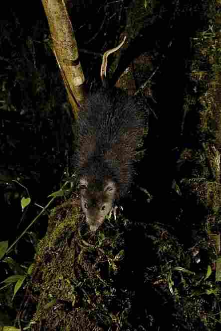 This new species, the woolly giant rat, was recently discovered during a National Geographic Society-funded expedition in New Guinea.