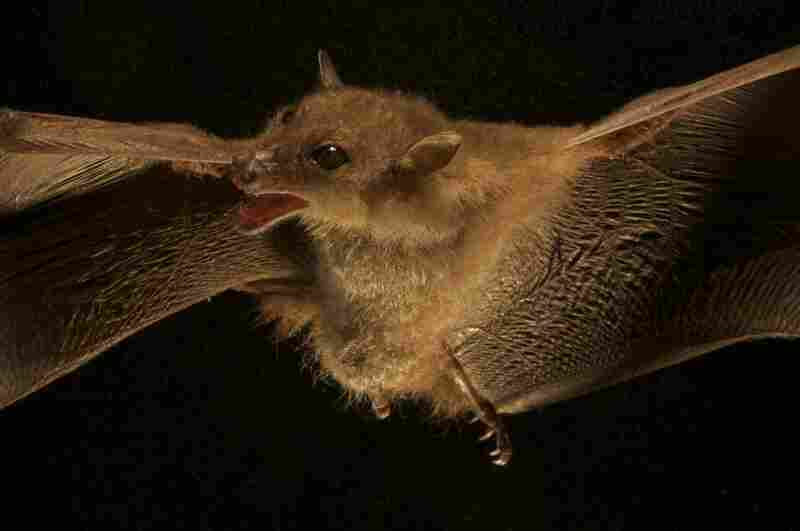 A newly discovered species of blossom bat.