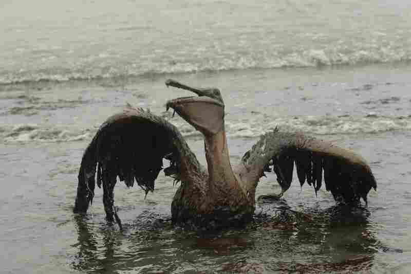 A brown pelican sits on the beach at East Grand Terre Island along the Louisiana coast after being drenched in oil from the BP Deepwater Horizon oil spill, June 3.