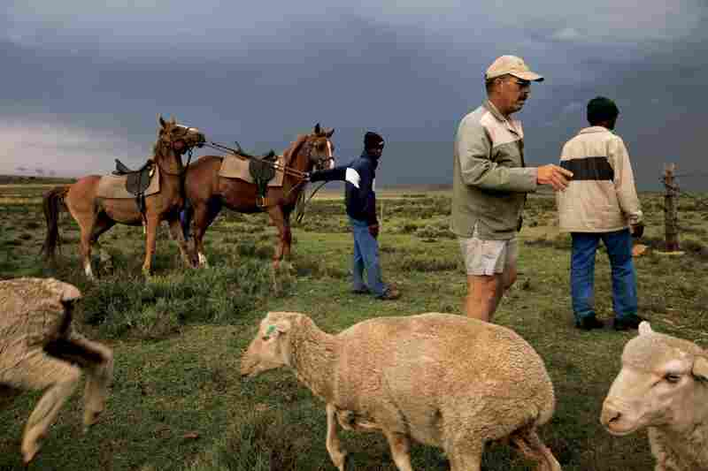 Four generations on, and the rhythm of life continues for Afrikaner Bertie Swanepoel, who raises cattle and sheep on his 3,000-acre ranch in the Free State. Whites still own more than 80 percent of commercial farmland; reform efforts have delivered only a sliver of land to blacks.