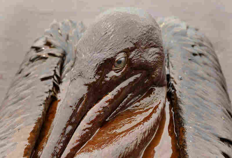A brown pelican, Louisiana's state bird, is covered in oil along the coast about five weeks after the Deepwater Horizon spill. Biologists are concerned the disaster may threaten the population, which came off the endangered species list just last year.