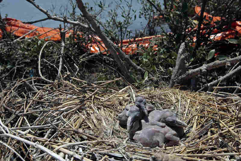 Oil retention booms lie tangled in the growth near the nests of young brown pelicans on New Harbor Island in the Gulf of Mexico, two weeks after the spill.