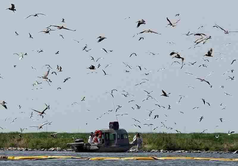 A rescue team tries to capture brown pelicans on Queen Bess island near Grand Isle on June 5. The island is one of Louisiana's most valuable rookeries, or breeding grounds, and one of the hardest hit by oil.