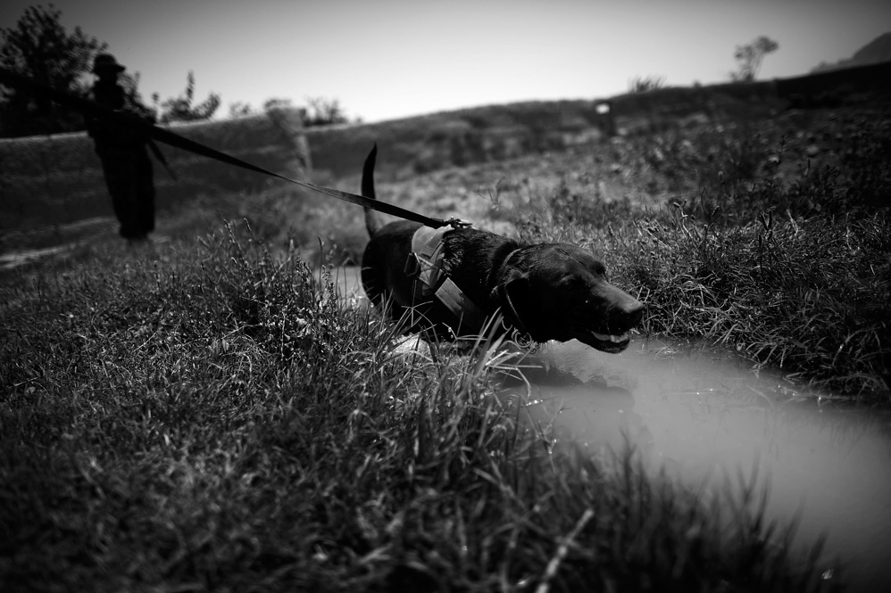 A U.S. Special Forces explosives-detection dog cools off in an irrigation ditch in Ezabad during a joint U.S.-Afghan patrol.