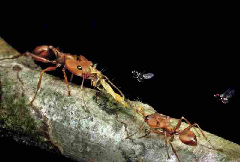 Venezuelan Daceton ants are not as cooperative as marauder ants when transporting food. Two workers have pulled a caterpillar in opposite directions.