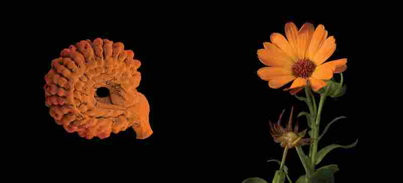 Calendula officinalis (Asteraceae), pot marigold, popular garden plant, origin unclear