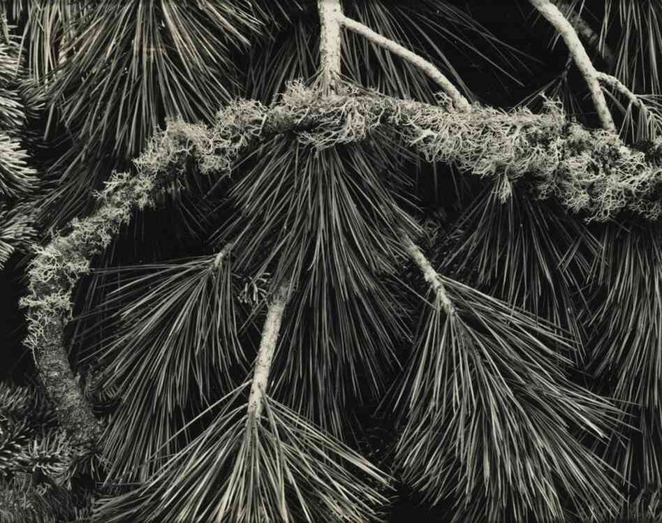 """Pine Branches, Yosemite Valley, est. $5,000-$7,000. This photograph, taken by Ansel Adams, is one of many by the photographer in the collection. Adams was friends with the inventor of Polaroid, who encouraged him to build a """"Library Collection"""" of contemporary photography for the Polaroid company — of both Polaroid images and more conventional types of photography."""