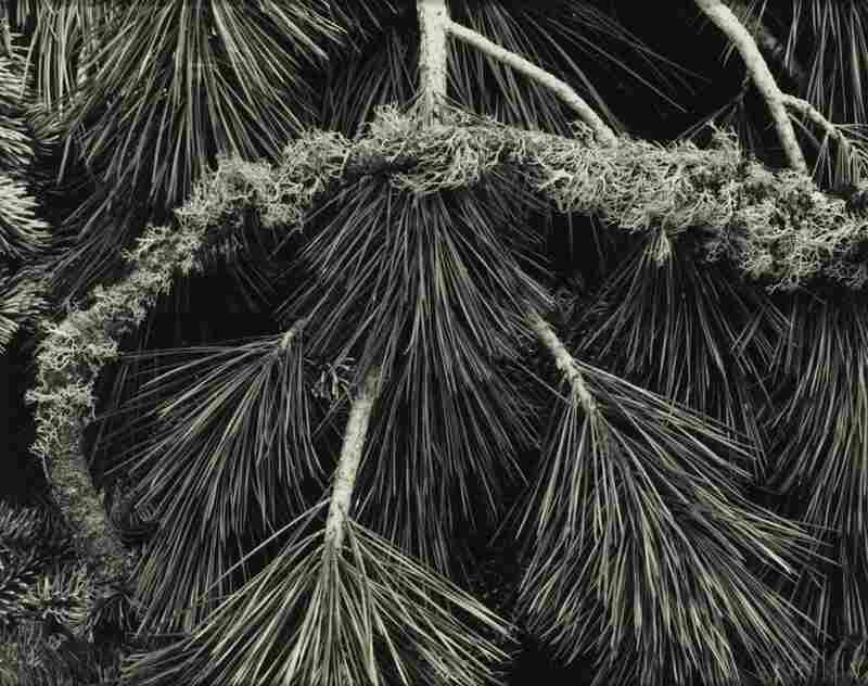 "Pine Branches, Yosemite Valley, est. $5,000-$7,000. This photograph, taken by Ansel Adams, is one of many by the photographer in the collection. Adams was friends with the inventor of Polaroid, who encouraged him to build a ""Library Collection"" of contemporary photography for the Polaroid company — of both Polaroid images and more conventional types of photography."