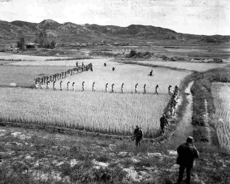North Korean prisoners, taken by the Marines in a fight, march single file across a rice paddy.