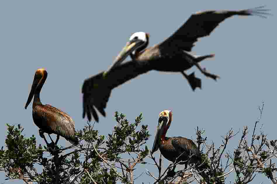 Two brown pelicans stained with oil sit atop small trees on Cat Island in Barataria Bay on June 6. Oil that spreads to nests can be deadly for eggs.