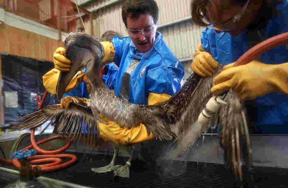 Veterinarians clean an oil-covered brown pelican at the Fort Jackson Wildlife Rehabilitation Center on May 15 in Buras, La. The birds are first rubbed with vegetable oil, which breaks up the crude oil, and then scrubbed with Dawn dish soap.