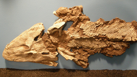 Tiktaalik fish skeleton