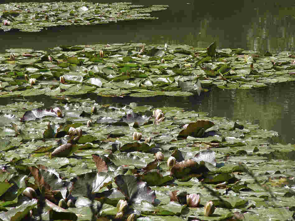 A closer view of the water lilies in the gardens surrounding Monet's home in Giverny. Monet made his garden, now a popular tourist attraction, with the help of his family and six gardeners.