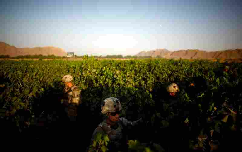 Sgt. Christopher Cook (center) navigates a field of grapevines, avoiding a heavily traveled path. The 101st Airborne Division's task is to secure a 16-mile long swath of lush orchards and fields, north and west of the city of Kandahar.