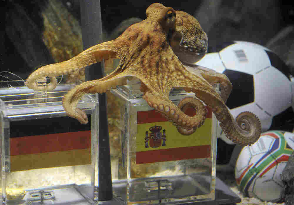 Paul the octopus chooses Spain to beat Germany