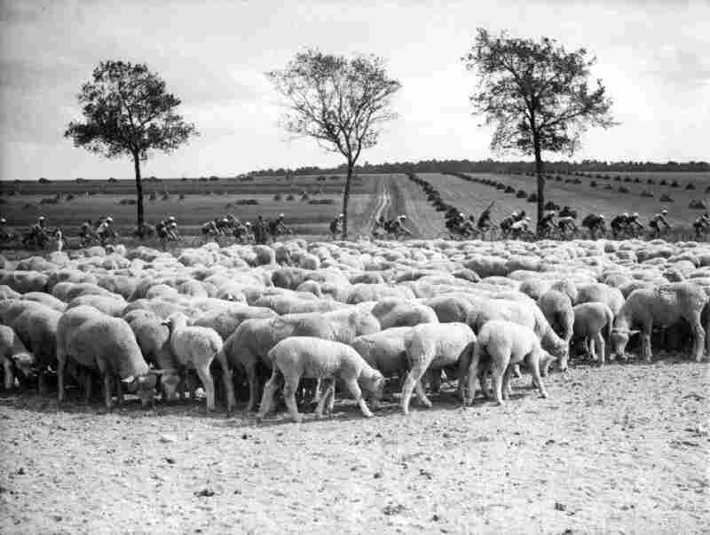 Cyclists pass a herd of sheep in 1938.
