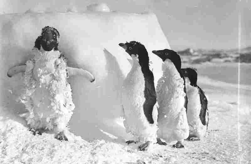 Ice-cased Adelie penguins after a blizzard at Cape Denison, 1911-1914.