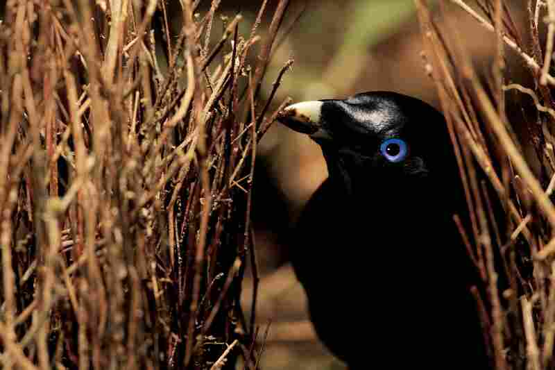 "A Satin Bowerbird (Ptilonorhynchus violaceus minor) male in Australia ""paints"" the inner walls of his bower with chewed-up plant matter. This bower is decorated with all natural objects."