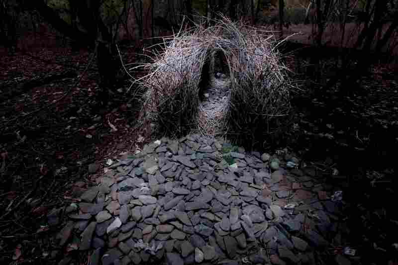 A construction built by a Great Bowerbird, located far from civilization in the dry forest west of the village of Irvinebank, is mostly stones.