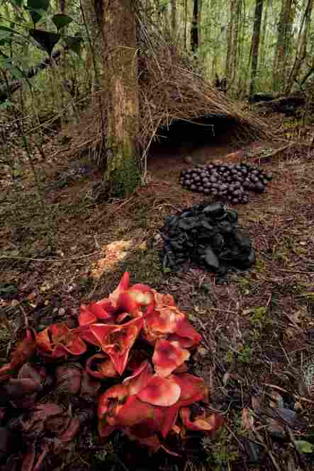 Piles of acorns, black fungi and pandanus flowers make up another Vogelkopf bower.