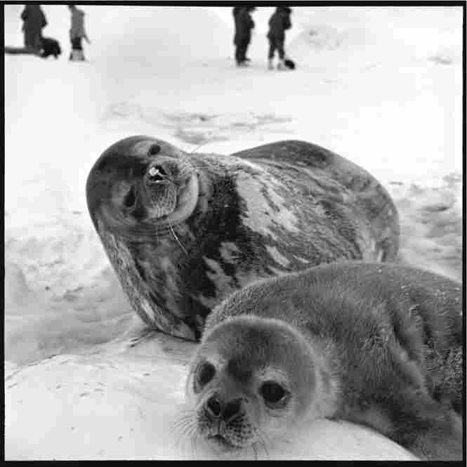 Weddell seals: mother and pup