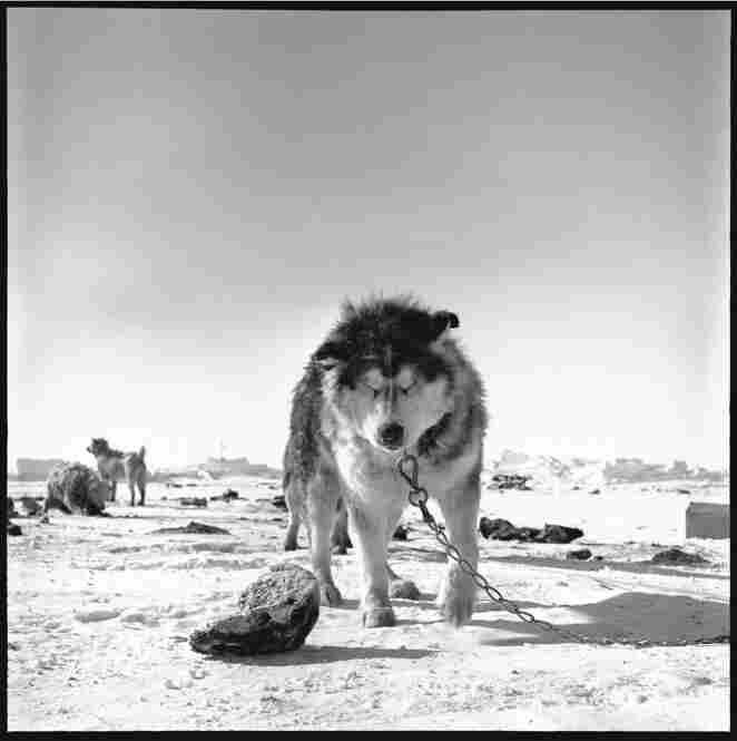 A husky sled dog