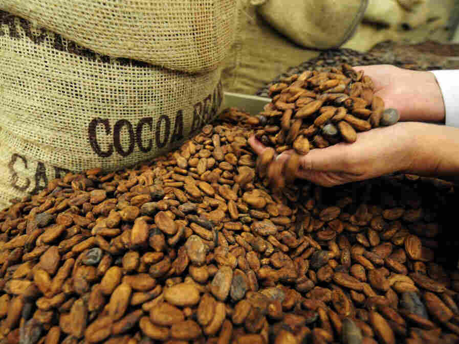 Experts say it's too early to say how this year's cocoa harvest will be.