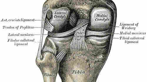 An anatomical drawing of the knee