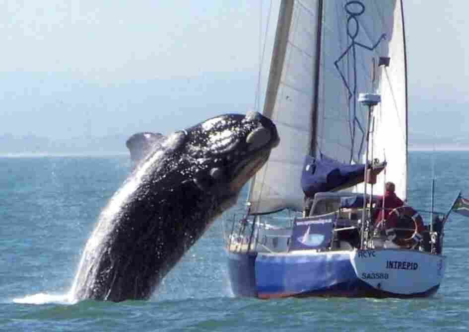 SOUTHERN RIGHT WHALE CRASHES INTO YACHT IN SOUTH AFRICA