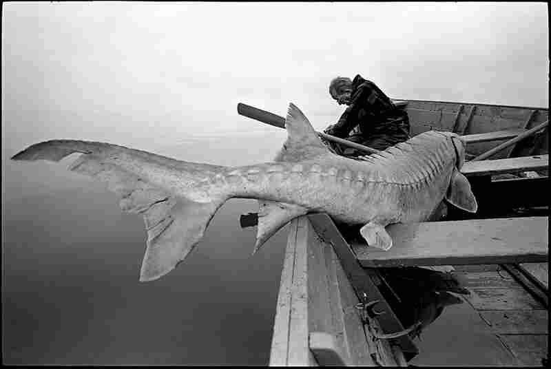 An old man of the river takes a break after landing a 12-foot-long sturgeon