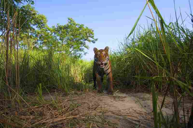 Finally, perhaps without realizing it, the tiger looks directly at the lens — and smiles.