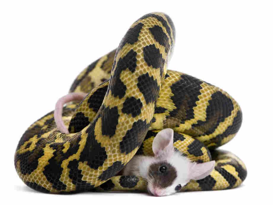 Python eats a mouse