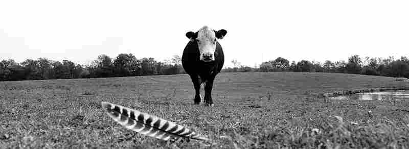 One of Mike Meyers' beef cows and a wild turkey feather.