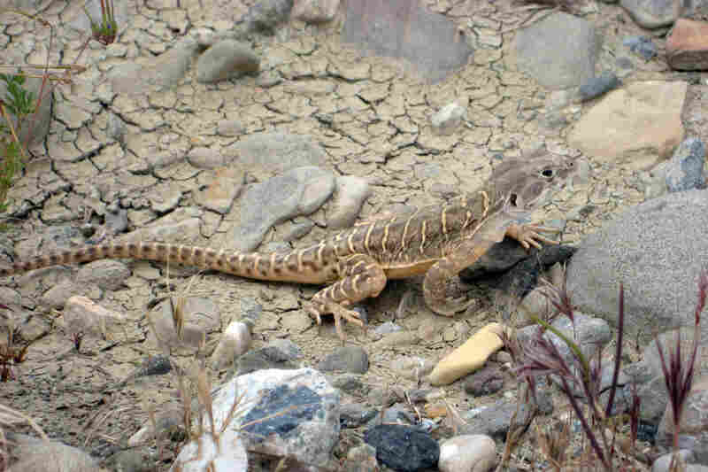 One of the animals biologists are worried about is the blunt-nosed leopard lizard. One lizard may require an acre of habitat to support it.