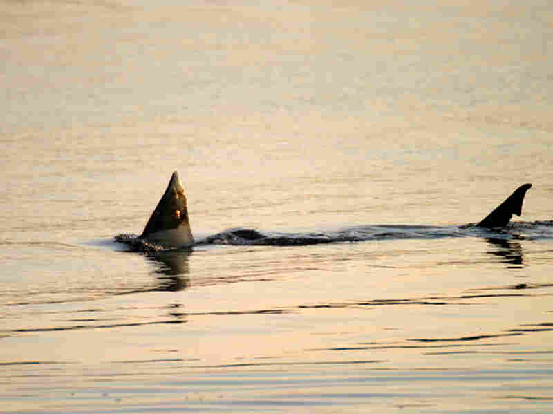A great white shark swims near Cape Cod, Mass., in 2004