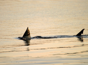 Chatham Sharks