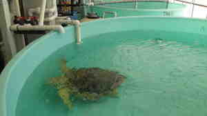 Turtle in a tank at Mote Marine Lab