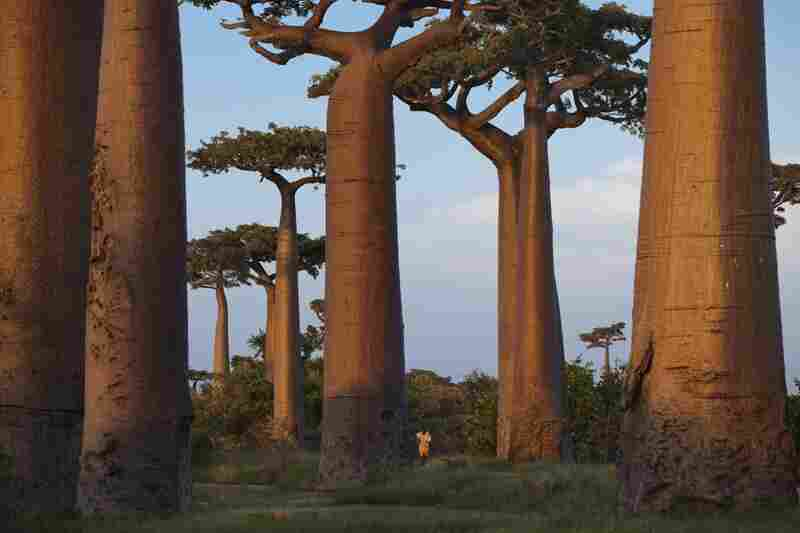 The Avenue of the Baobabs is an area near Morondava in the Menable region of western Madagascar. Protected since 2007, it is all that remains of a once-thick forest cleared for farmland. Growing 80 feet or more, baobabs are valued for fruit and bark.